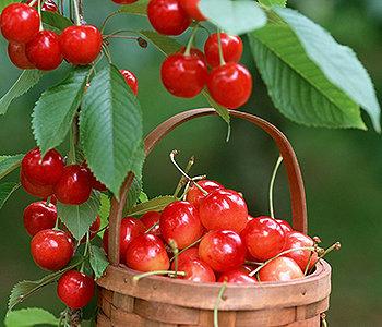 A cereja é cheia de antioxidantes