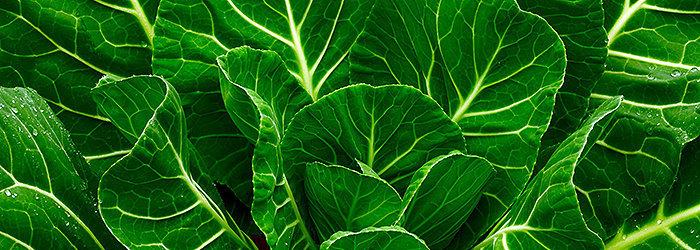 A couve é muito mais nutritiva do que outras folhas verdes