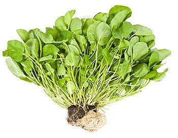 O agrião é uma boa fonte de betacaroteno, luteína, zeaxantina e antioxidantes