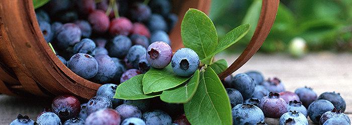 Os blueberries são ricos em fibras, antioxidantes e fitonutrientes