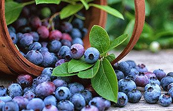 O mirtilo é um dos frutos mais bem posicionados no ranking dos alimentos ricos em antioxidantes.